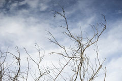 Branch of dry died tree with blurred blue sky and clouds in background, selective focus Royalty Free Stock Photography