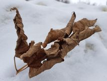 Dry dried leaves in the snow royalty free stock photography
