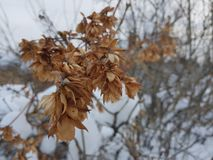 Dry dried leaves in the snow stock photography