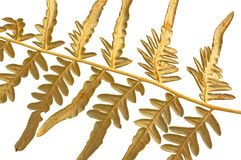 Branch dry fern Stock Image