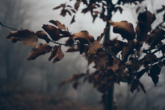 Branch of dry leaves. Fog in a forest. Foggy mountain forest photo. Nature Royalty Free Stock Photo