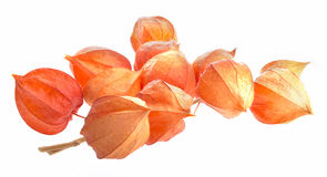 Branch of dry physalis. Isolated on white background Royalty Free Stock Photos