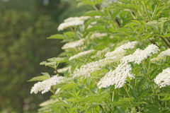 Branch of elder flowers Royalty Free Stock Photos
