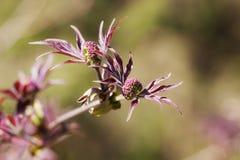 Branch of elderberry Royalty Free Stock Photos