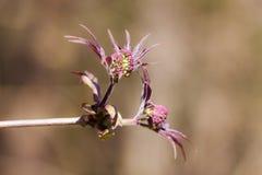 Branch of elderberry closeup Royalty Free Stock Photos