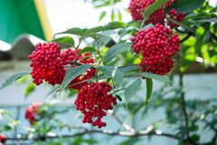 A branch of Elderberry red Sambucus racemosa with ripe berries on the background of a wooden fence in the village in the summer. Branch of Elderberry red stock photography