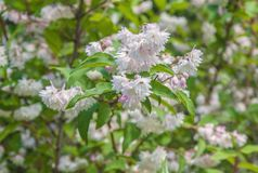 Branch of elegant pinkish white fuzzy deutzia flowers stock images