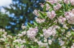 Branch of elegant pinkish white fuzzy deutzia flowers stock photography