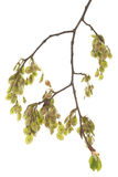 Branch elm. Young branch elm (Ulmus) on white background Stock Images