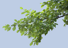 Branch of elm Royalty Free Stock Image