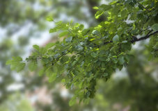 Branch of elm Stock Images