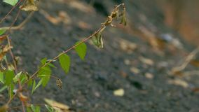 Branch elm leaves against the black earth. Branch  elm leaves against the black earth stock video footage