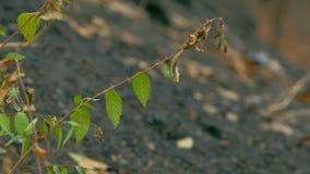 Branch elm leaves against black earth. Branch  elm leaves against black earth stock video footage