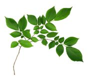 Branch of elm-tree leaves Stock Photo