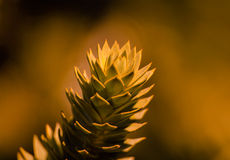 A branch of evergreen Araucaria tree Royalty Free Stock Photography