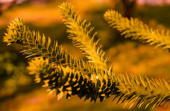 A branch of evergreen Araucaria tree. At Autumn Royalty Free Stock Photos