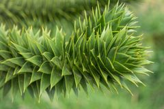 Branch of evergreen Araucaria tree, Faroe Islands. Summer Royalty Free Stock Photography