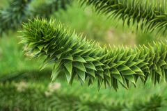 Branch of evergreen Araucaria tree, Faroe Islands. Summer Stock Image