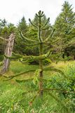 Branch of evergreen Araucaria tree, Faroe Islands. Summer Stock Photos
