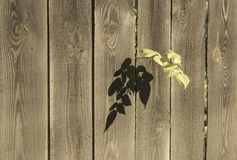 Branch on the fence. Tree branch fell in crack between slats of fence Stock Photos