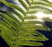 Branch of fern with sun light from back Stock Photo