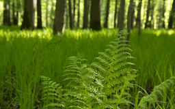 Branch of a fern sways in the wind. In the spring forest on sunny day Stock Images