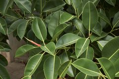 Branch of Ficus elastica tree. Green fresh leaves of Ficus elastica tree stock photos