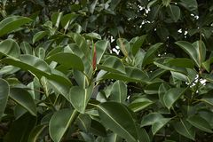 Branch of Ficus elastica tree. Green fresh leaves of Ficus elastica tree stock photography