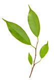 Branch of Ficus Leaves isolated Stock Photos