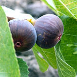 Branch of fig tree Royalty Free Stock Photography