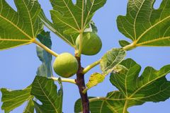 Branch of a fig tree Ficus carica with leaves and ripe fruits against blue sky Royalty Free Stock Images