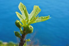 Branch of a fig tree with immature fig. On blue background Stock Photography