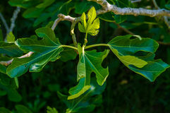 Branch of a fig tree Royalty Free Stock Photography