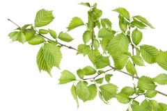 Branch of filbert (Corylus) bush Royalty Free Stock Images