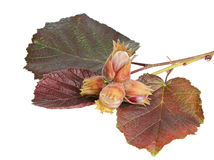 Branch of filberts or hazelnuts with leaves isolated Royalty Free Stock Photo