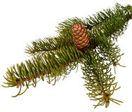 Branch  fir Royalty Free Stock Image