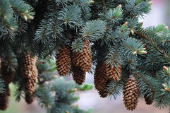 Branch of fir Stock Images