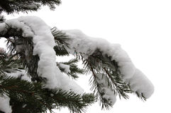 Branch of the fir Stock Image