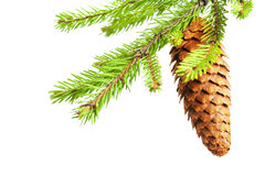 Branch of fir with cone Stock Images