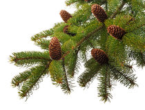 Branch  fir with cones Stock Photography