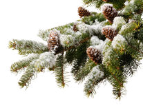 Branch  fir with cones in snow Stock Photography