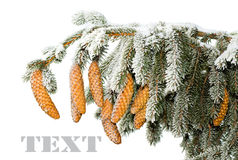 Branch of fir with cones under snow Royalty Free Stock Photo