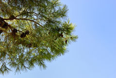 The branch of fir. Stock Photo