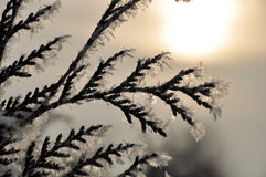 Branch of fir tree Royalty Free Stock Photography