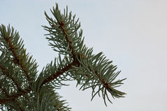 Branch of fir-tree Royalty Free Stock Photography