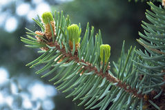 Branch of fir-tree Royalty Free Stock Photo