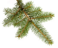 Branch fir-tree Stock Photography