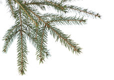 Branch fir tree. Fir tree branch isolated on a white background. Christmas decoration Stock Photos