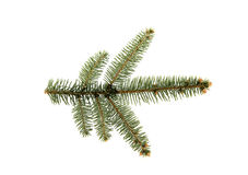 Branch of fir tree. Fir tree branch with buds in the middle of picture. Isolated on white. View from top Stock Photos