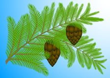 Branch of a fir-tree with cones. Royalty Free Stock Photography